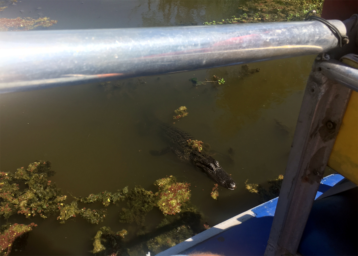 Louisiana Airboat Tour-Louisiana Alligator