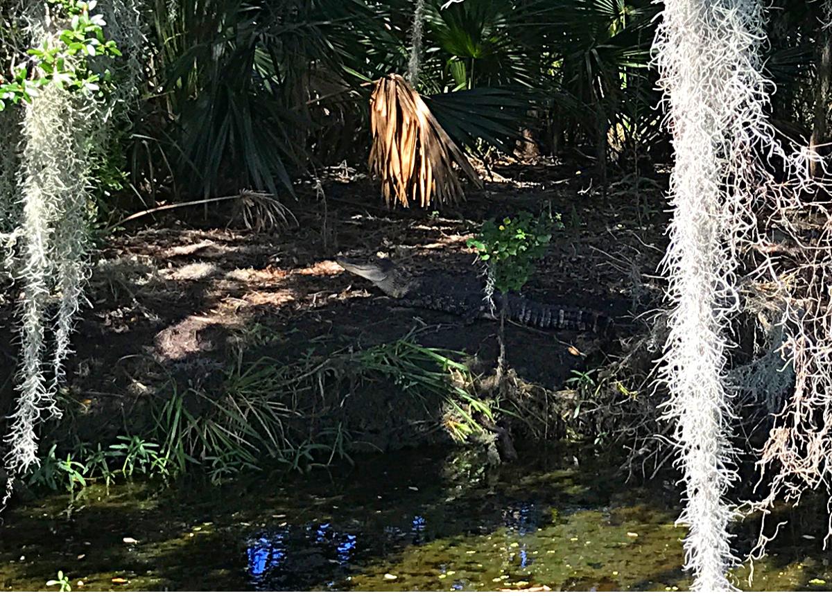 Louisiana Airboat Tour-Alligator