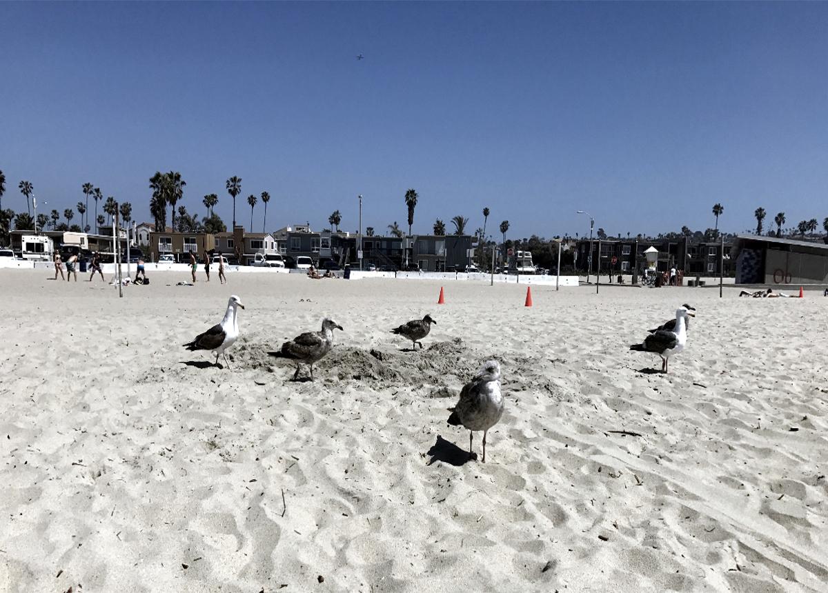 Birds on the San Diego Beach