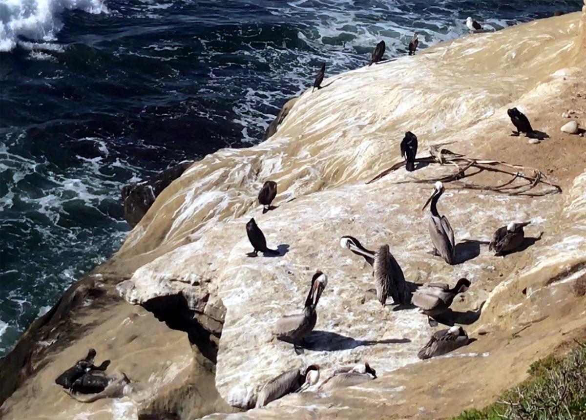 Albatrosses in  La Jolla