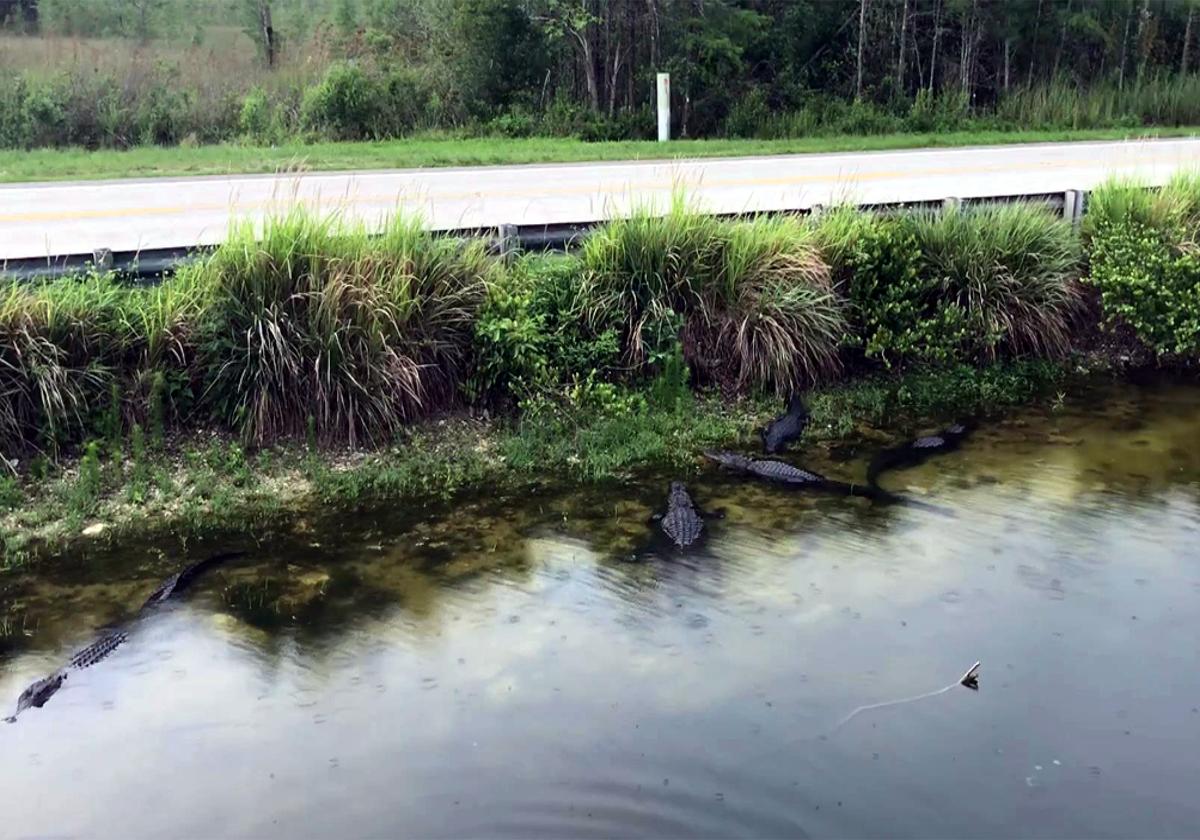 Visiting Everglades National Park-Alligators