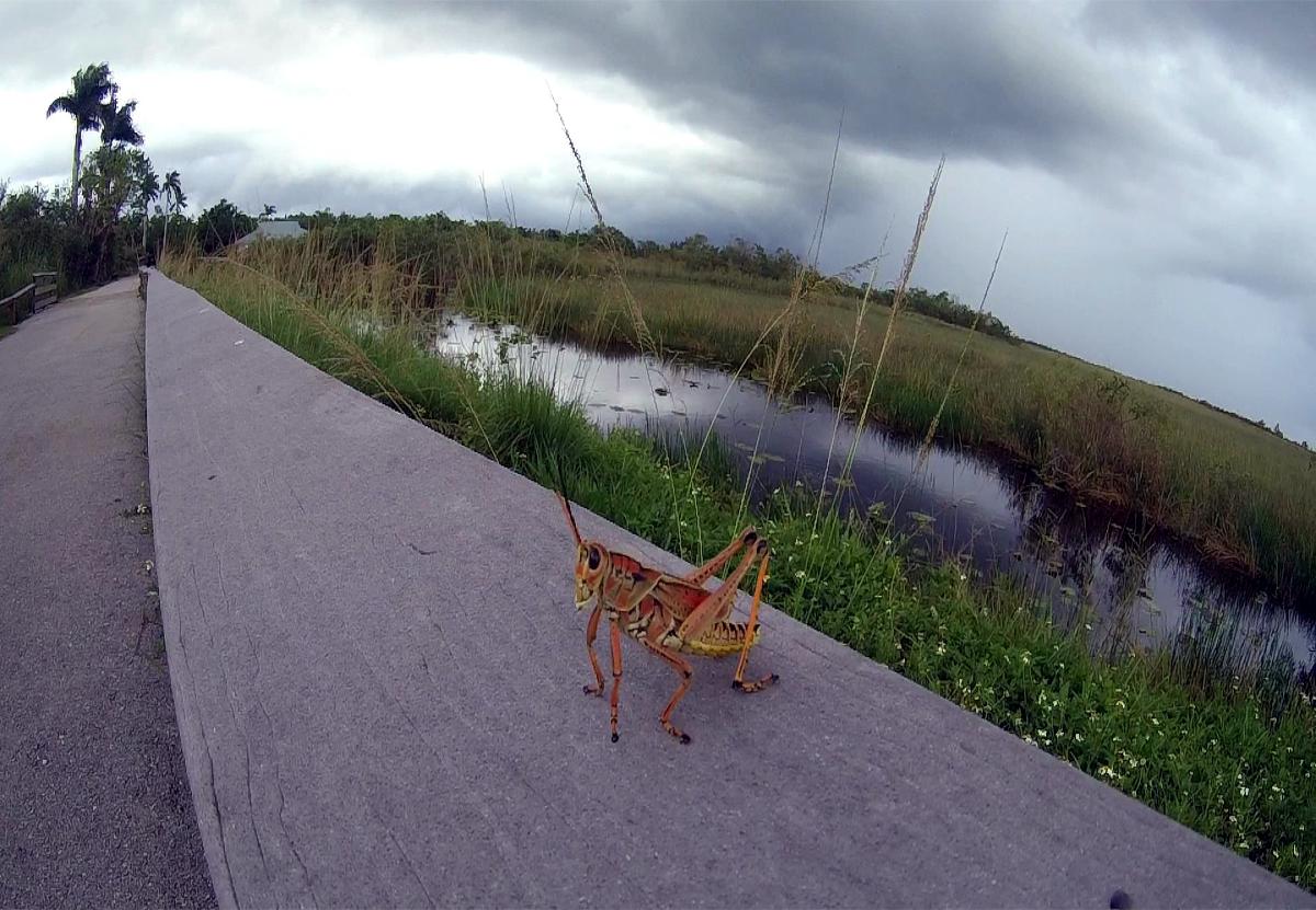 Everglades- Grasshopper