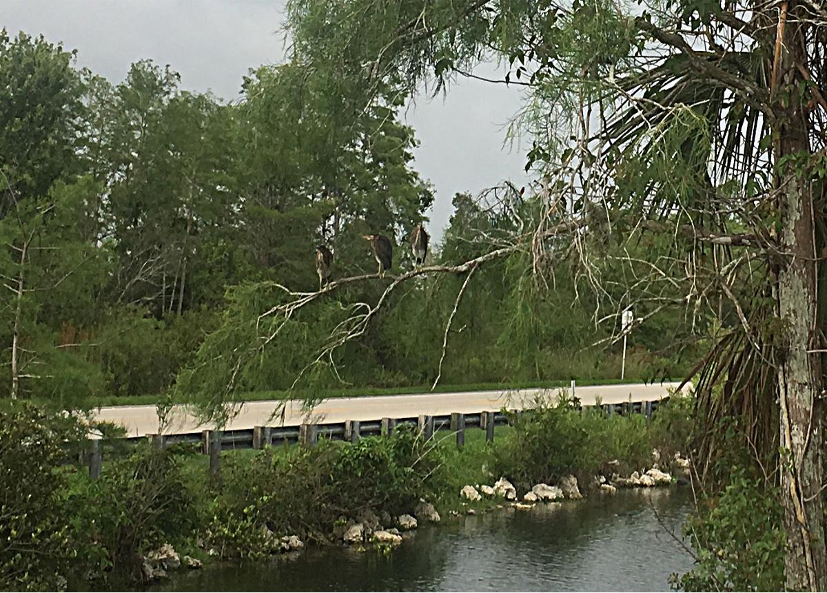 Everglades- Birds