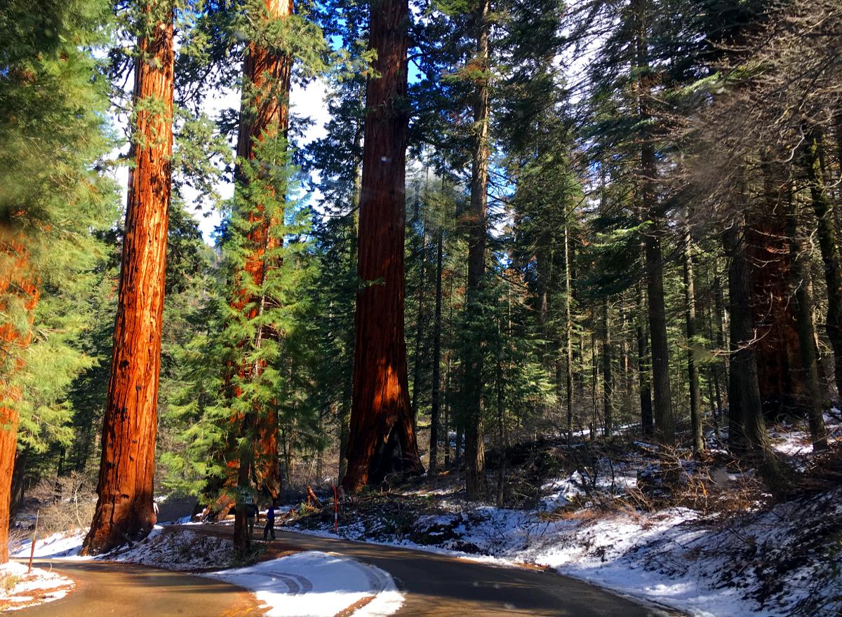 Giant Sequoia Road