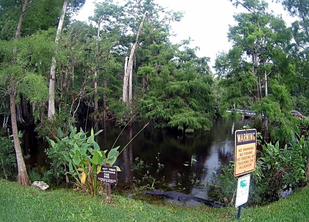Everglades- Alligator